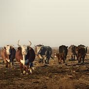 Texas Long Horns